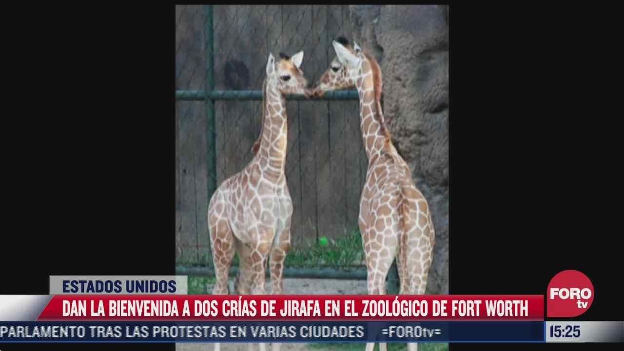 jirafas dan sus primeros pasos en zoologico de dallas