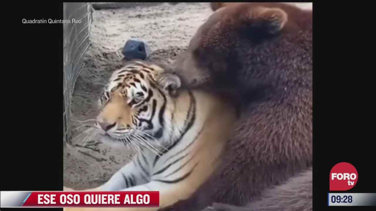 amistad peculiar entre oso y tigre