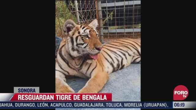 aseguran tigre de bengala durante cateo a un domicilio en sonora