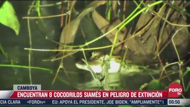 encuentran ocho cocodrilos siameses en peligro de extincion