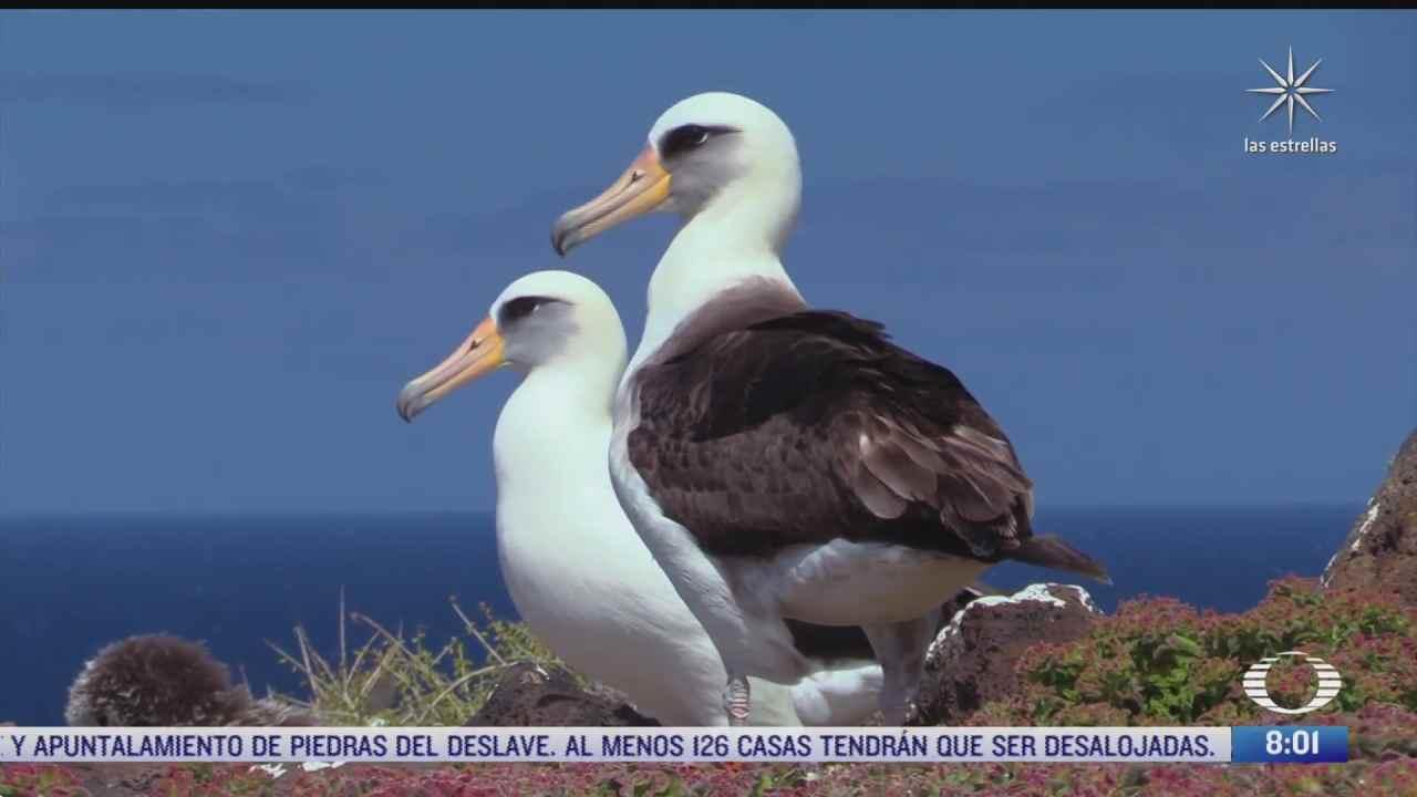 expertos buscan conservar el albatros de laysan en isla guadalupe baja california