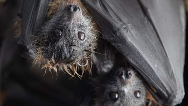 Científicos descubren virus muy similar al del covid-19 en murciélagos de Laos