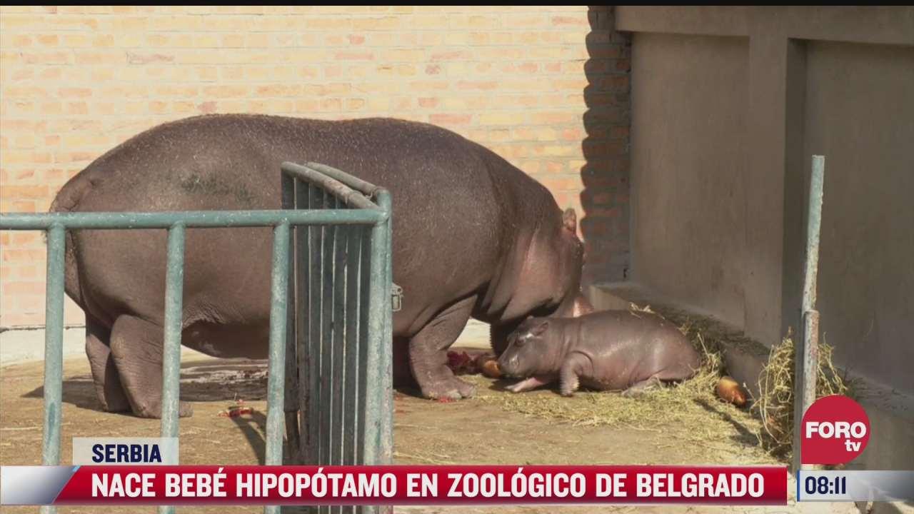nace bebe hipopotamo en zoologico de belgrado serbia