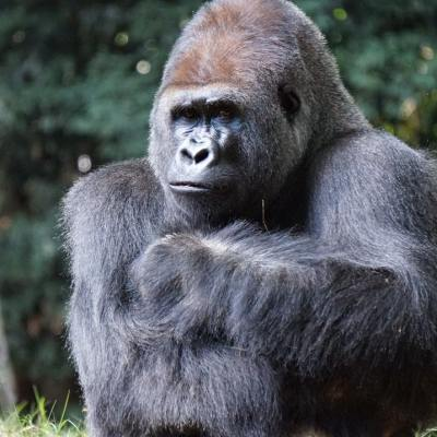 Gorilas tienen sexo frente al público en zoológico del Bronx