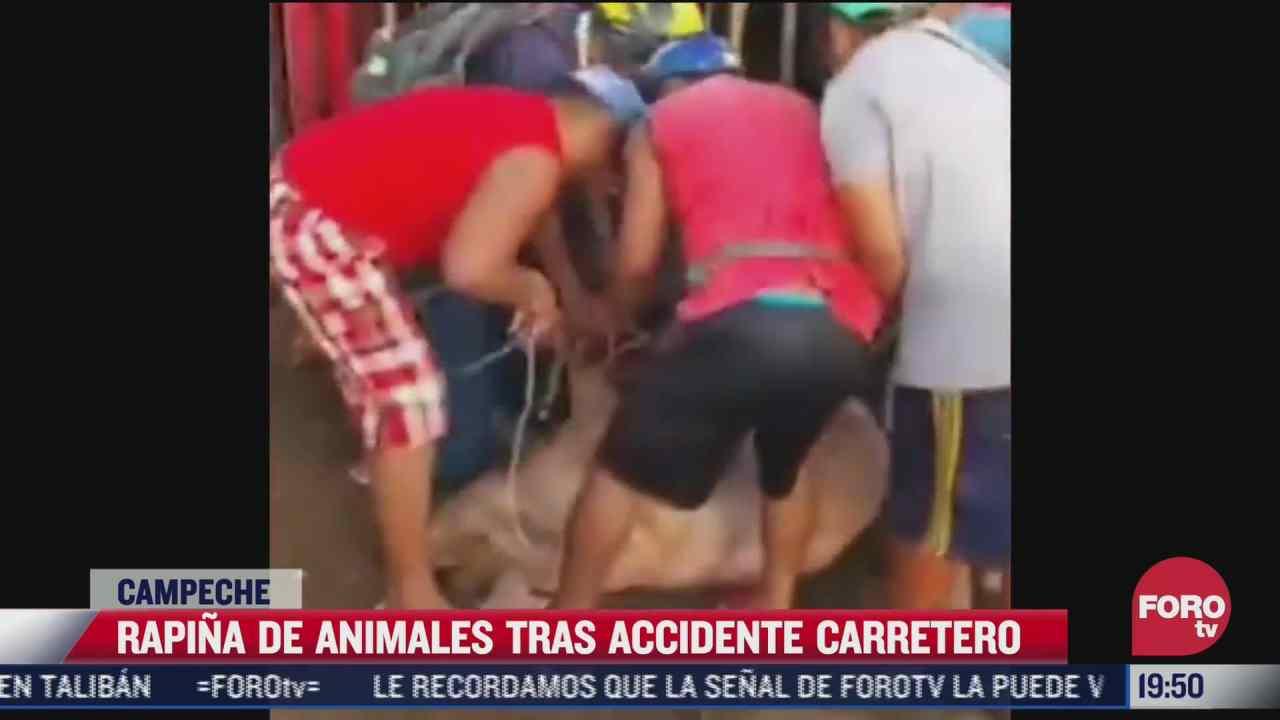 pobladores en campeche se roban cerdos tras volcadura
