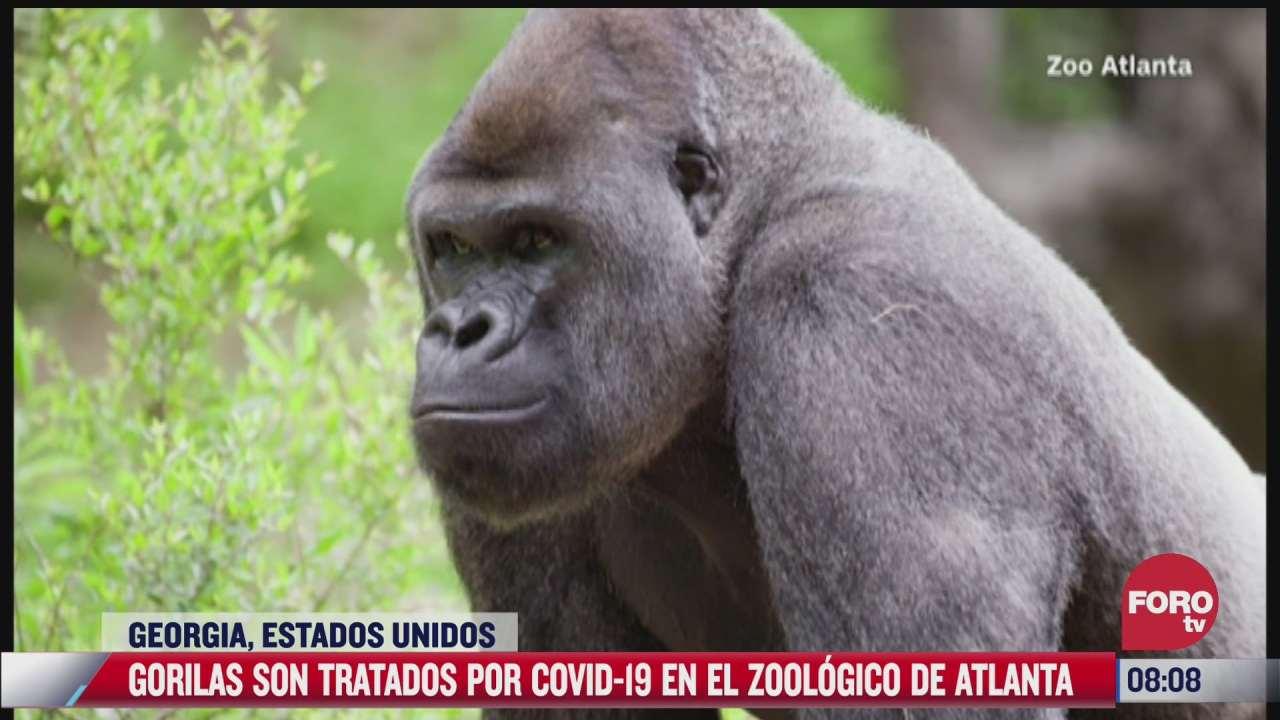 un numero no especificado de gorilas dio positivo a covid