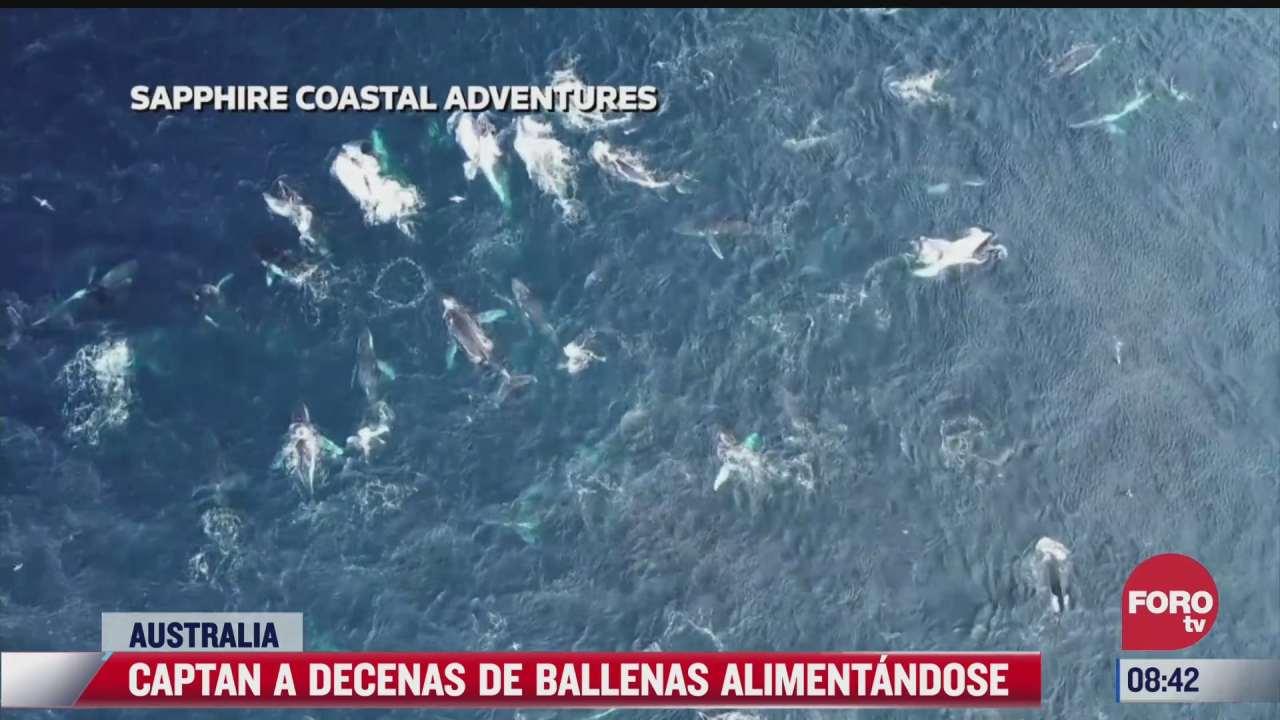 video mas de 80 ballenas se alimentaban en una zona costera de australia