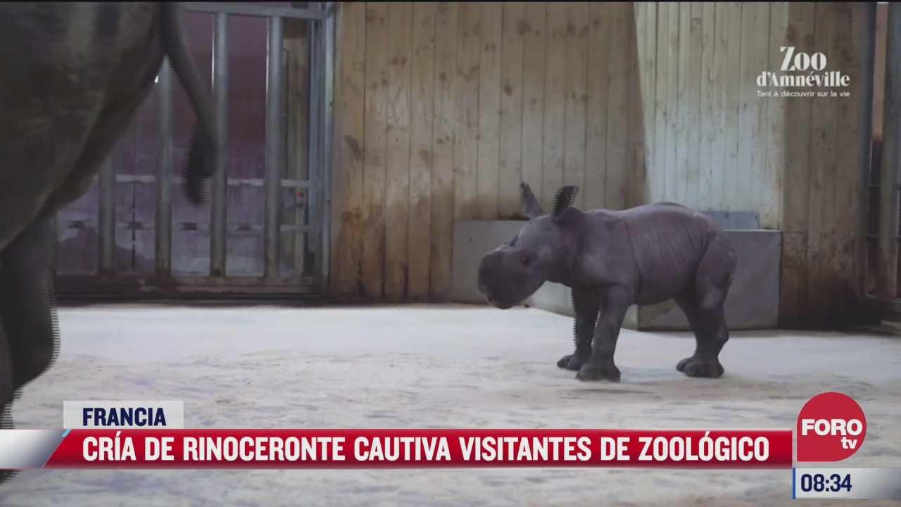 cria de rinoceronte cautiva visitantes de zoologico en francia