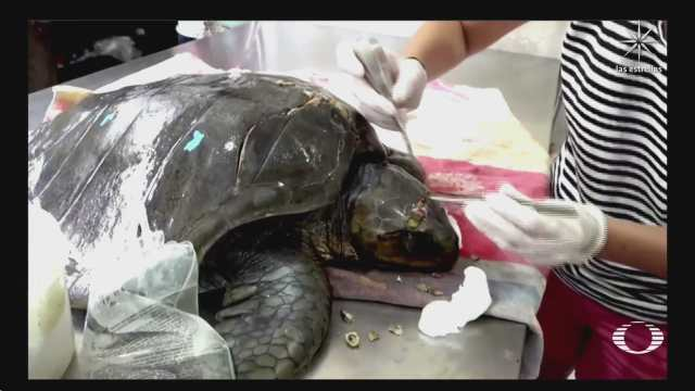 ecuador al rescate de tortugas marinas heridas