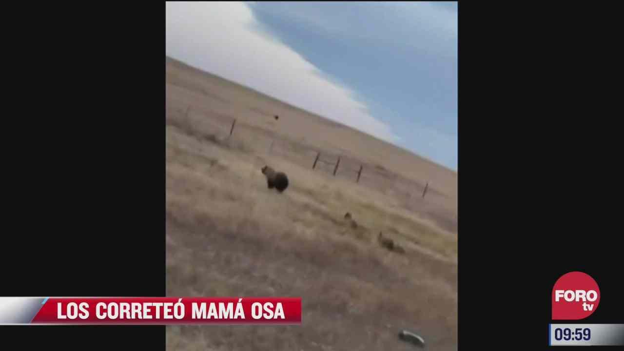 mama oso corretea camioneta