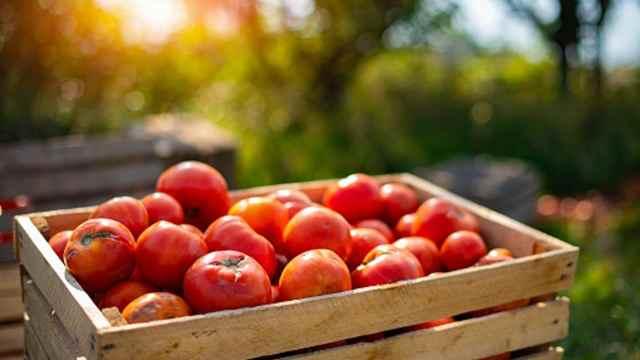 México vigilará prohibición de entrada de tomates frescos a EEUU.
