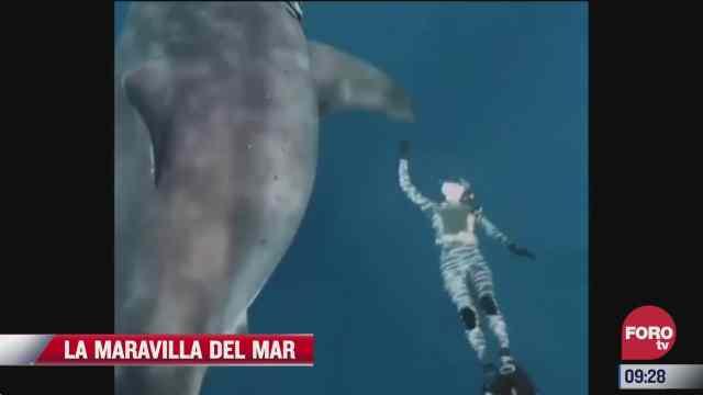 nadando con un gran tiburon blanco