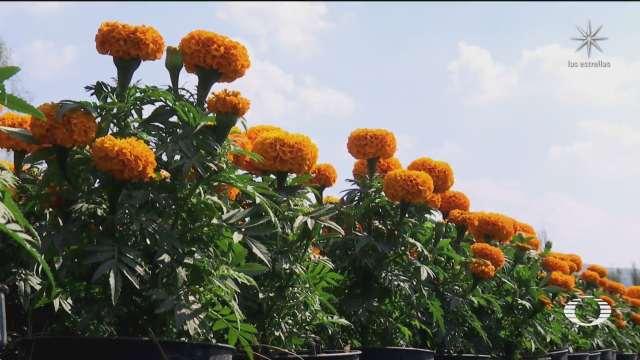 se produciran en cdmx casi 3 millones de plantas de flor de cempasuchil