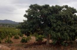 Nispero con fruto verde