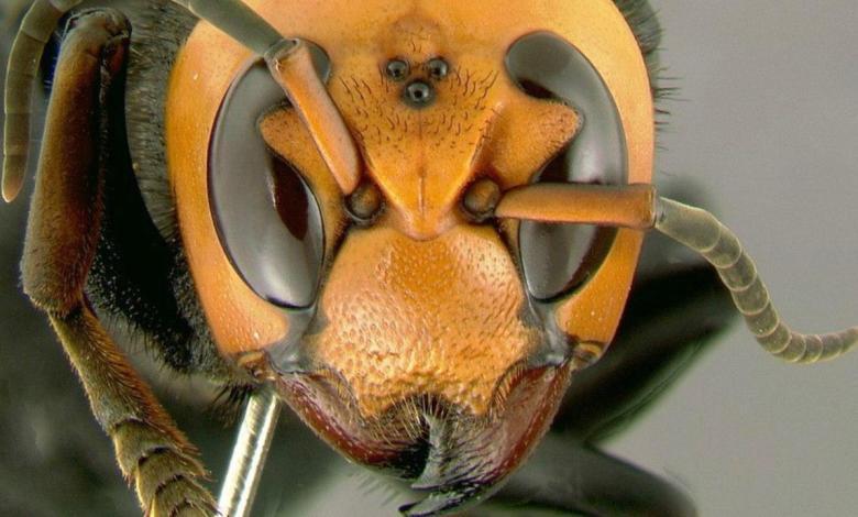 Photo of Letal insecto asiático llega a Norteamérica y encienda la alarma