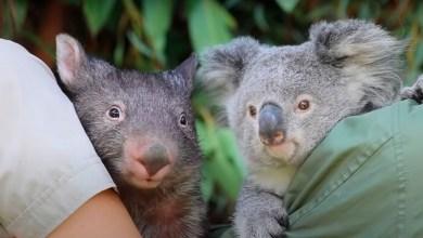"""Photo of VIDEO: Un koala y un uómbat se volvieron """"mejores amigos"""" por la cuerentena"""