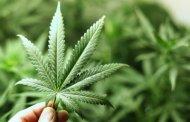En diciembre, reglamentación para uso medicinal de mariguana: Narro