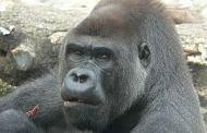 Desata polémica sacrificio de gorila por salvar a niño en Cincinnati