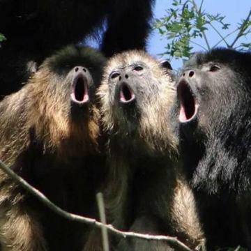 Mueren monos aulladores en reserva ecológica de Chiapas