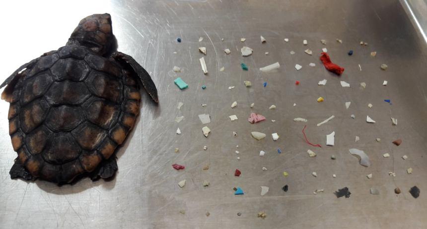 Hallan muerta a tortuga marina con 104 pedazos de plástico en intestinos