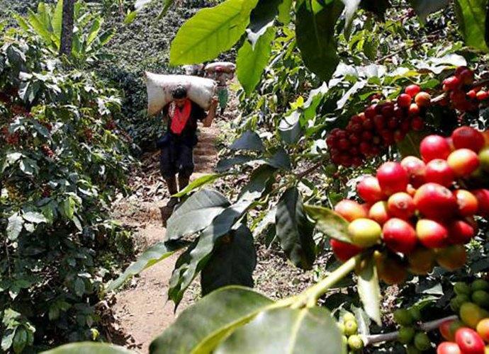 Venezolanos que hoy recogen café en Colombia