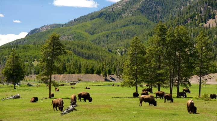 Se mantienen diferentes especies que puedes disfrutar en el parque Yellowstone.