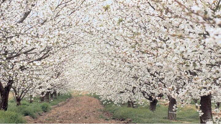 Extasis floral en el Valle de Jerte