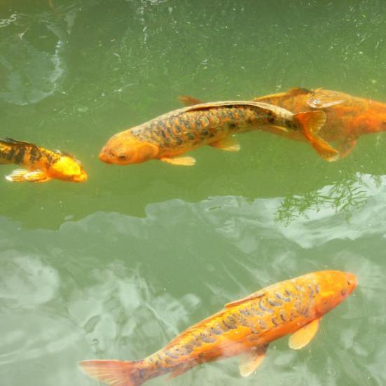 Y en el estanque, los peces.