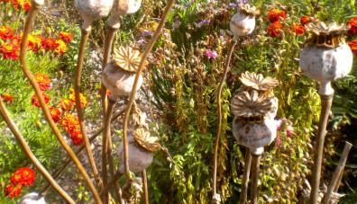 Flores secas de amapola. (Foto: Pablo Harvey).