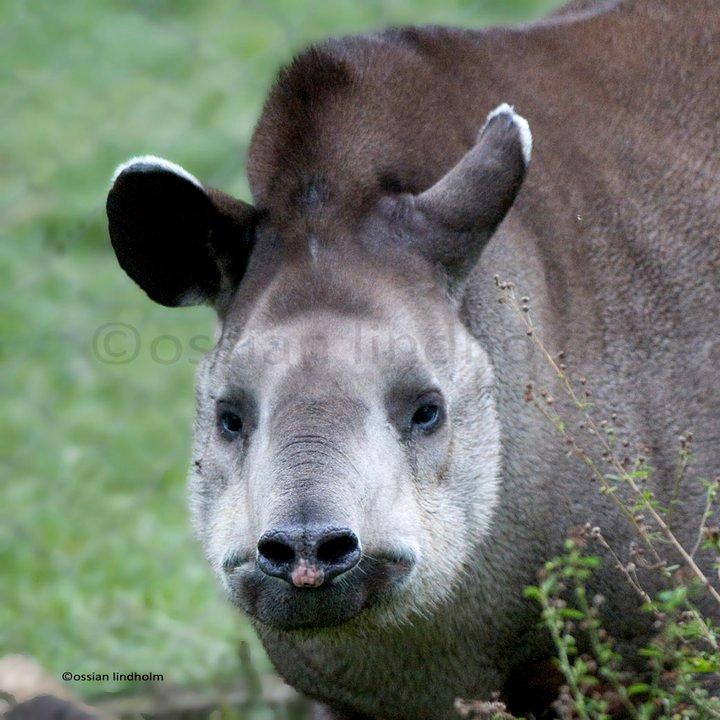 018 tapir ossian