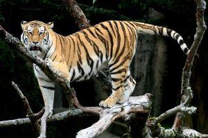 800px-Siberian_Tiger_sf