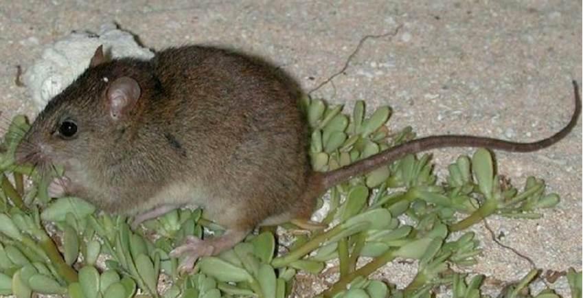 Confermata prima estinzione di un mammifero causata da cambiamenti climatici indotti dall'uomo