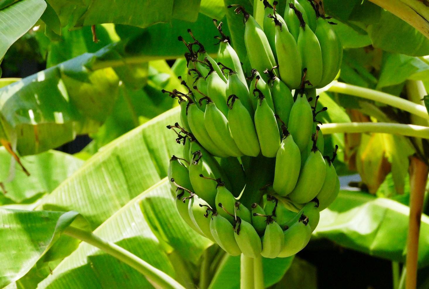 Pianta Di Banana Foto infezione fungina sta devastando colture di banane nelle
