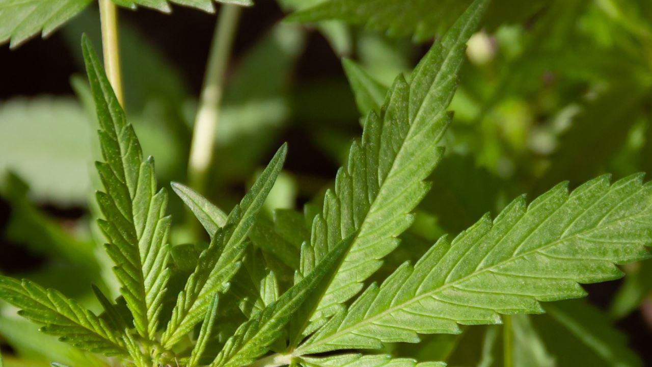 pianta cannabis foglie