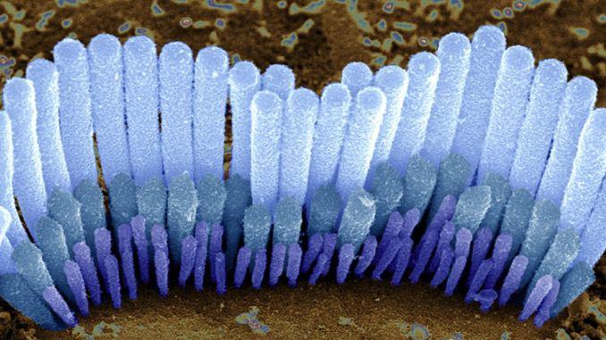 udito microscopio