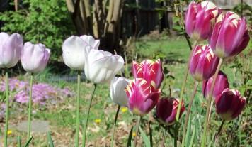 Tulips close up 2016