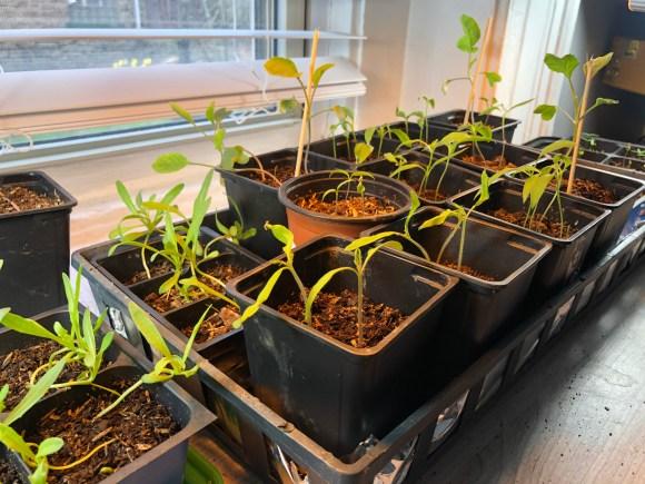 Seedlings growing indoors under lights