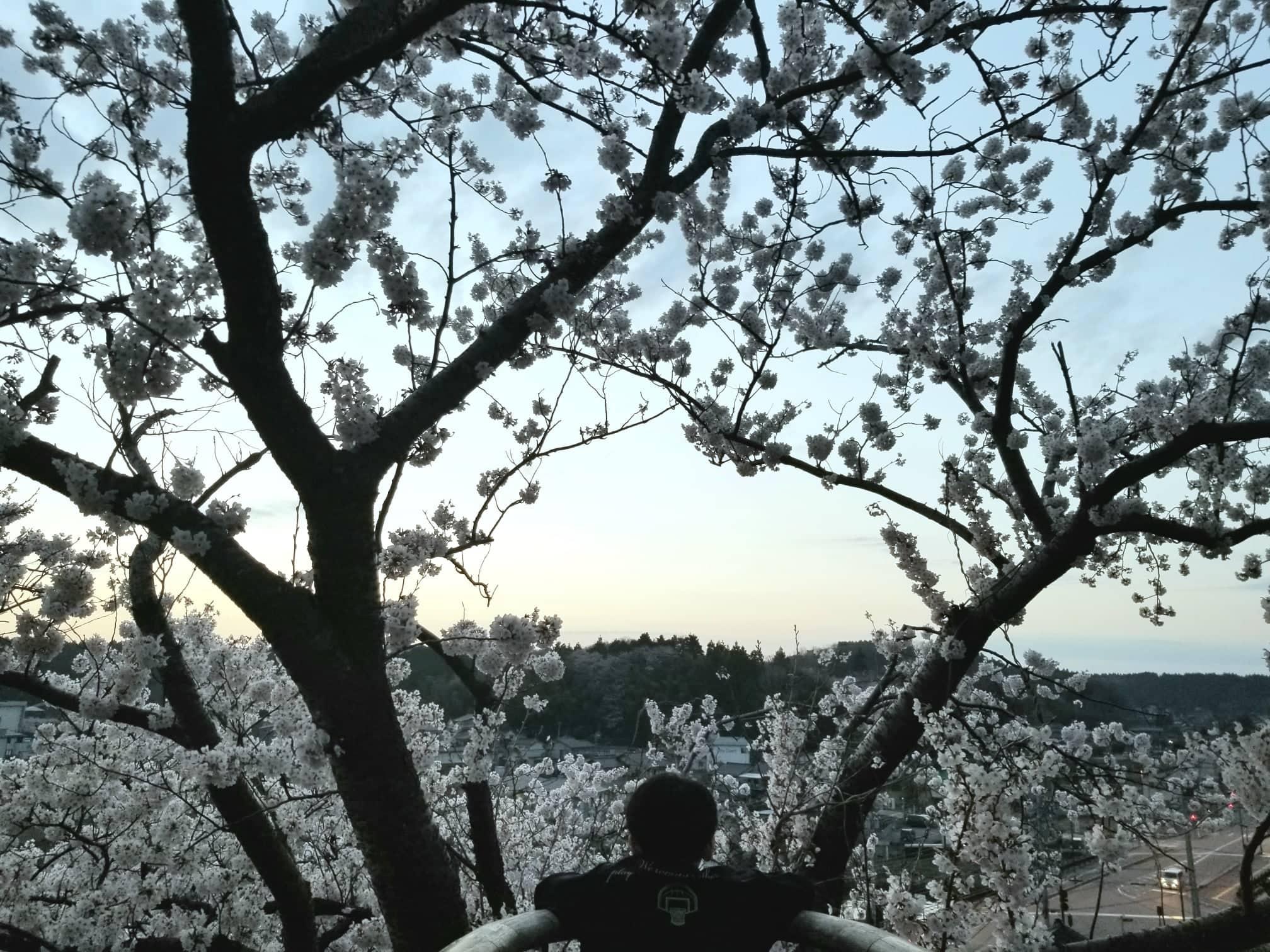 能登の桜名所!前田利家が築いた小丸山城跡の「小丸山城址公園」【七尾市】