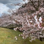 桜がたくさん!七尾市桜情報