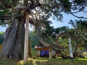「高照寺の倒さスギ」は石川県指定天然記念物で樹齢900年ともいわれる老杉【珠洲市】