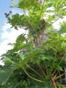 Ometepe_Papaya (13)