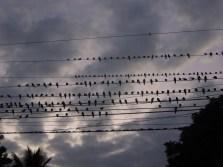 ptasie nuty_birds