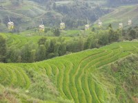 Longji - Dashai Village - Rice Fields (227)