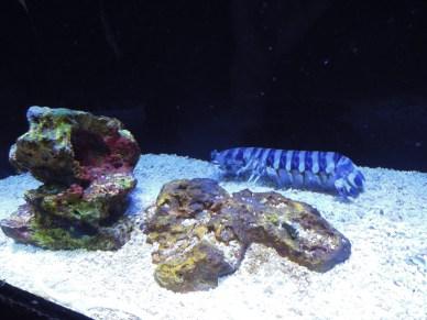 rawka błazen_peacock mantis shrimp