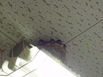 ツバメの巣5.27