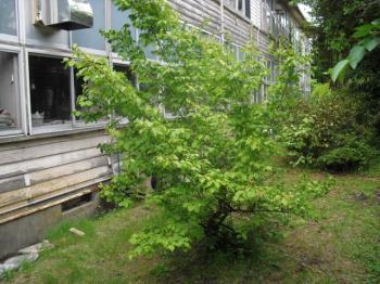 6.2中庭の梅の樹