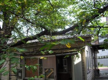 9.21中庭桜