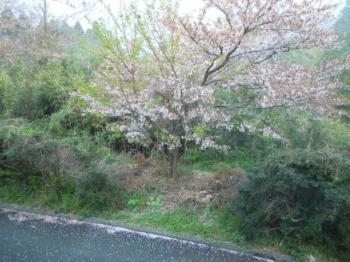 4.17桜