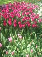 mulitple pinks