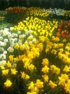 daffodils nod at tulips